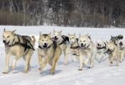 Beringia-2013 dog sled race (archive)